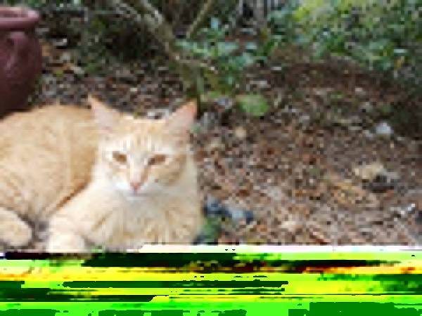 Image of Leo, Lost Cat