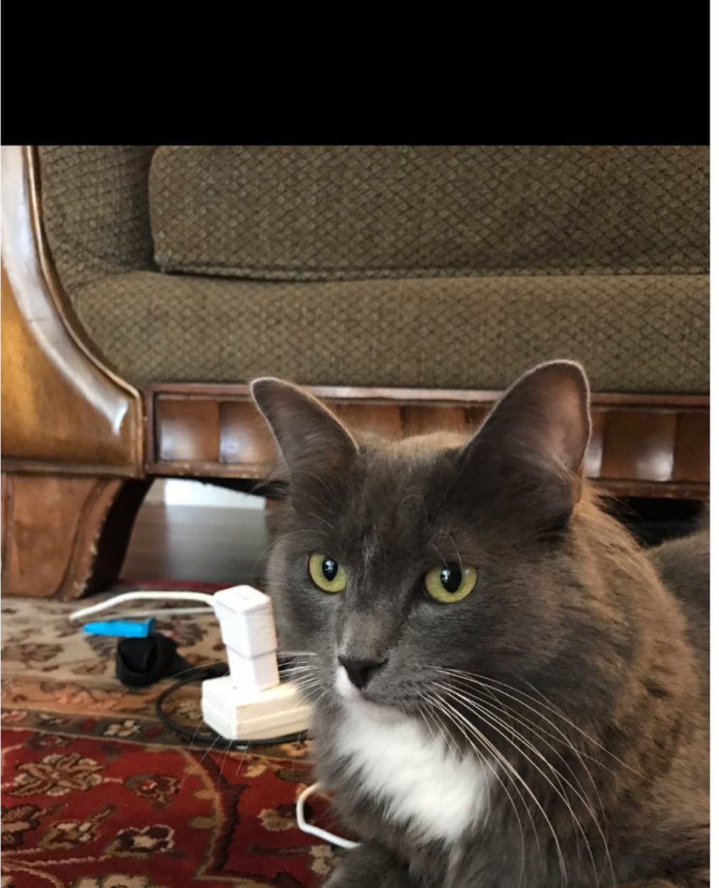 Image of Mittens, Lost Cat