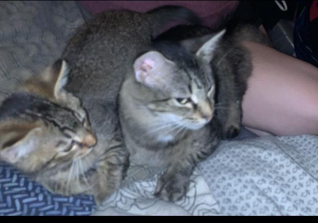 Image of Stella and Tom Tom, Lost Cat