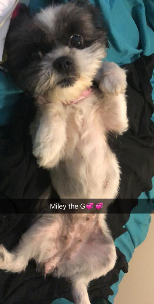 Image of Miley, Lost Dog