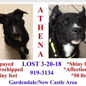 Image of Athena, Lost Dog