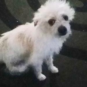 Image of Melon/ Chiquito, Lost Dog