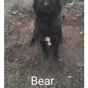 Image of Bear/Oso, Lost Dog