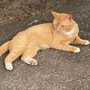 Image of Cheeto, Lost Cat