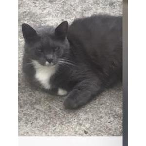 Image of Tommy, Lost Cat