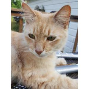 Image of Punkin, Lost Cat