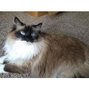 Image of Tallulah, Lost Cat