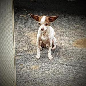 Image of Chico, Lost Dog