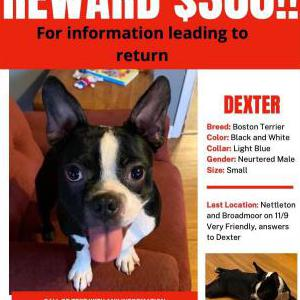 Image of Dexter, Lost Dog