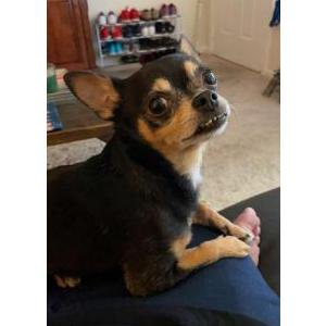 Image of Gizmo, Lost Dog